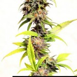 184013 247725575255412 2476821 n 150x150 Blueberry Kush #marijuana #cannabis