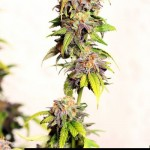 281250 247725355255434 2056866 n 150x150 Blueberry Kush #marijuana #cannabis