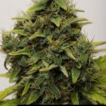 283343 244650452229591 4367724 n 150x150 White Widow #marijuana #cannabis