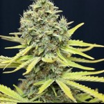 283377 244649775562992 2472578 n 150x150 White Widow #marijuana #cannabis