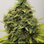 283444 244650468896256 6658248 n 150x150 White Widow #marijuana #cannabis