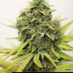 284031 244650408896262 1275775 n 150x150 White Widow #marijuana #cannabis