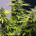 284276 244650535562916 3030882 n 150x150 White Widow #marijuana #cannabis