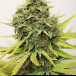 284820 244650395562930 7503597 n 150x150 White Widow #marijuana #cannabis