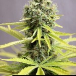 284847 244650095562960 4908777 n 150x150 White Widow #marijuana #cannabis