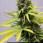 285154 244650302229606 2743878 n 150x150 White Widow #marijuana #cannabis