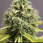 285176 244650035562966 4442525 n 150x150 White Widow #marijuana #cannabis