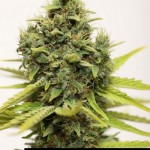 285256 244650808896222 5511576 n 150x150 White Widow #marijuana #cannabis