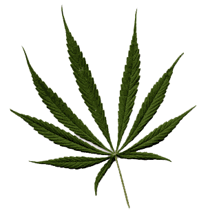 sativa1 Cannabis Sativa