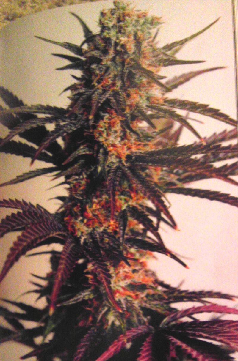 sativa2 Otherside Farms In Another Book!  Cannabis Sativa: The Essential Guide to the World's Finest Marijuana Strains
