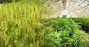 hemp-vs-marijuana-featured-photo-v3[1]