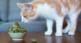 pets-cbd-cannabis-1024×640[1]