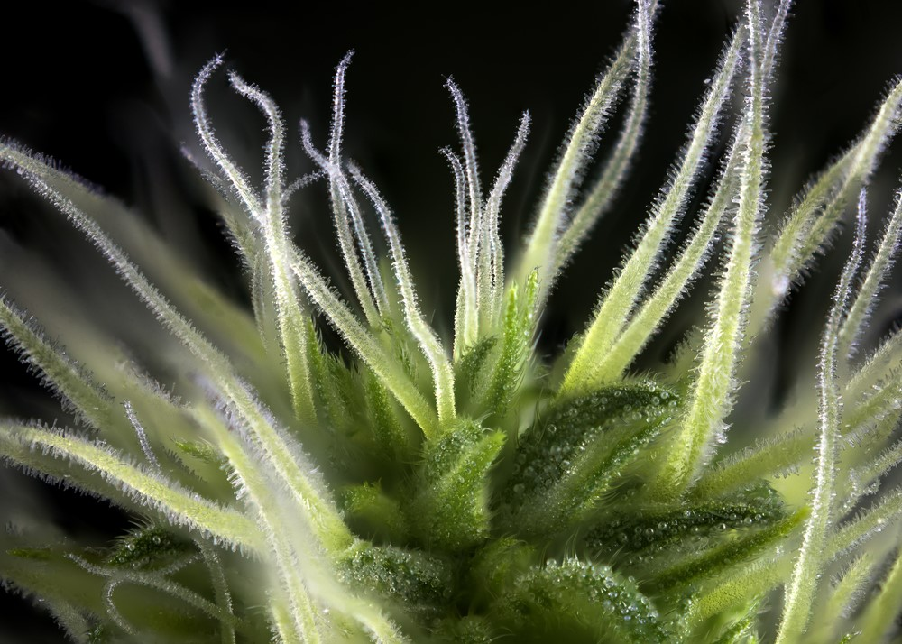 terpene - Terpene Enhanced CBD Isolate: The Next Big Breakthrough In CBD
