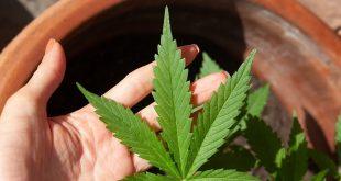 cannabis-5003423_960_7201