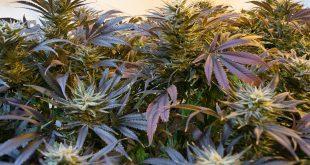 marijuana-2038457_960_720[1]